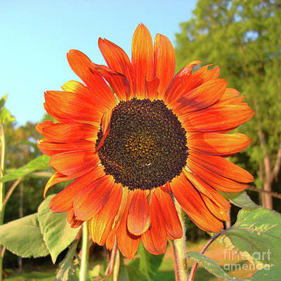 Photograph - Sunflower 52 by Amy E Fraser