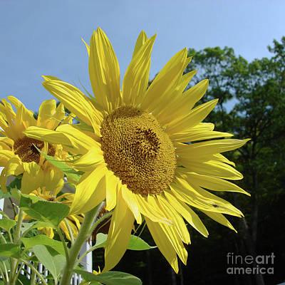 Photograph - Sunflower 55 by Amy E Fraser