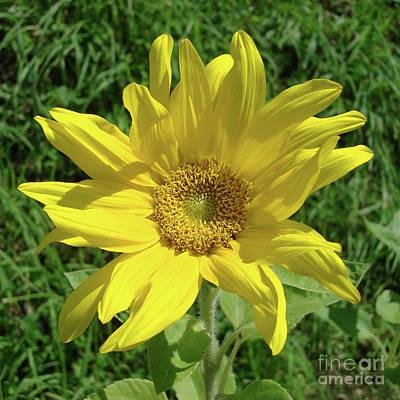 Photograph - Sunflower 57 by Amy E Fraser