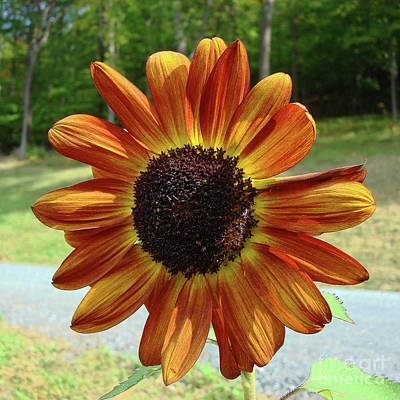 Photograph - Sunflower 59 by Amy E Fraser
