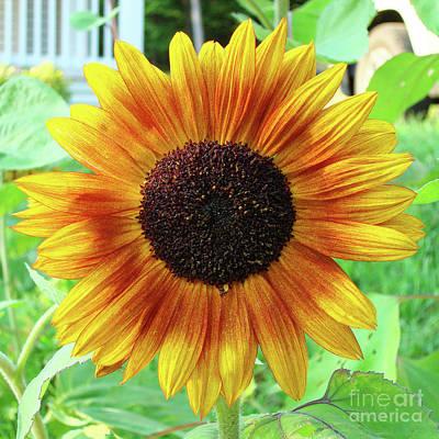 Photograph - Sunflower 61 by Amy E Fraser