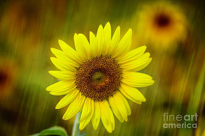 Photograph - Sunflower And A Hint Of Rain by Sabrina L Ryan