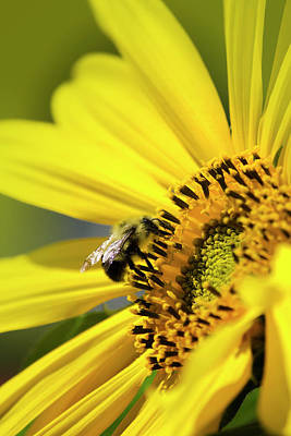 Photograph - Sunflower And Bee by Christina Rollo
