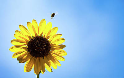 Photograph - Sunflower And Bee by Jeanette Fellows