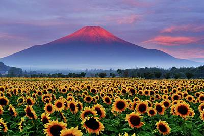 Photograph - Sunflower And Red Fuji by Katsumi.takahashi
