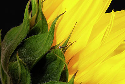 Photograph - Sunflower back by Storm Smith