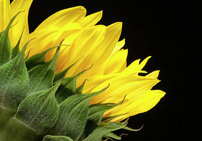 Photograph - Sunflower back two by Storm Smith