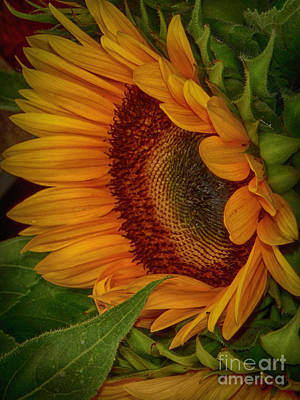 Photograph - Sunflower Beauty by Judy Hall-Folde