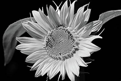 Wine Down - Sunflower Black And White by Debbie Oppermann