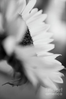 Photograph - Sunflower Collection  by Jenny Potter