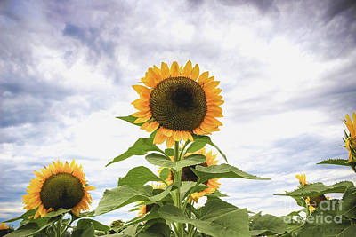 Photograph - Sunflower Days by Colleen Kammerer