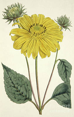 Painting - Sunflower Drawing Circa 1796 by English School