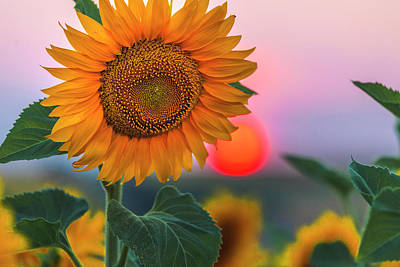 Photograph - Sunflower by Evgeni Dinev