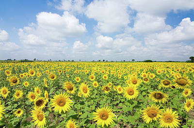 Photograph - Sunflower Farm by Souvik Bhattacharya