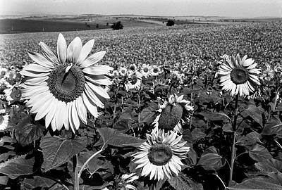 Photograph - Sunflower Field In Full Bloom by Paul Schutzer