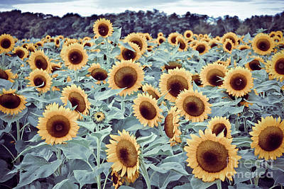 Photograph - Sunflower Fields by Colleen Kammerer