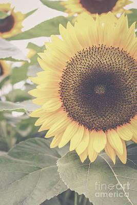 Photograph - Sunflower Haze by Colleen Kammerer
