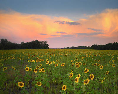 Photograph - Sunflower Helianthus Annuus Field Near by Tim Fitzharris/ Minden Pictures