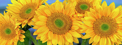 Photograph - Sunflower Helianthus Annuus Group by Tim Fitzharris/ Minden Pictures