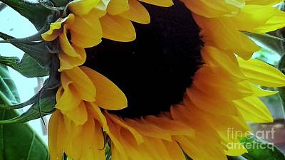 Photograph - Sunflower by Joan-Violet Stretch