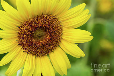 Photograph - Sunflower Love by Sabrina L Ryan
