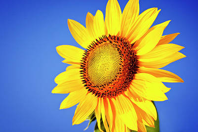 Photograph - Sunflower by Mbbirdy