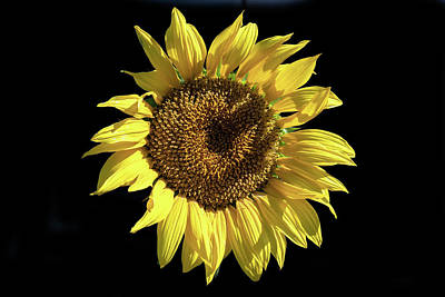 Photograph - Sunflower On Black by Alison Frank