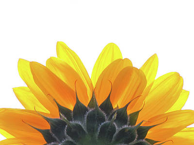 Photograph - Sunflower On White Background by Francois Dion