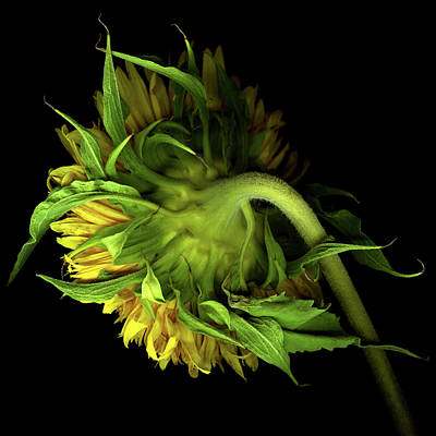 Photograph - Sunflower by Photograph By Magda Indigo