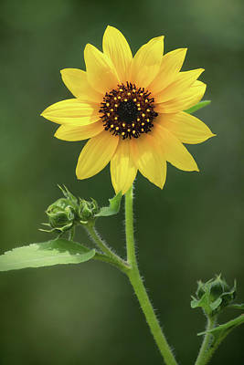 Photograph - Sunflower Power  by Saija Lehtonen