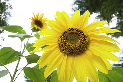 Olympic Sports - Sunflower Reaching for the Sky by Rik Katz