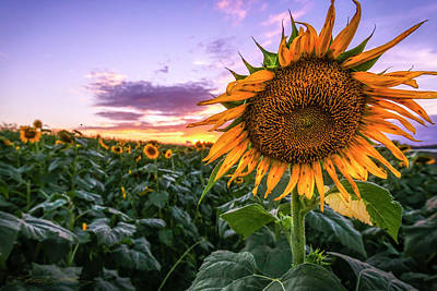 Photograph - Sunflower Sunset At Sykes Farm by Stacey Sather
