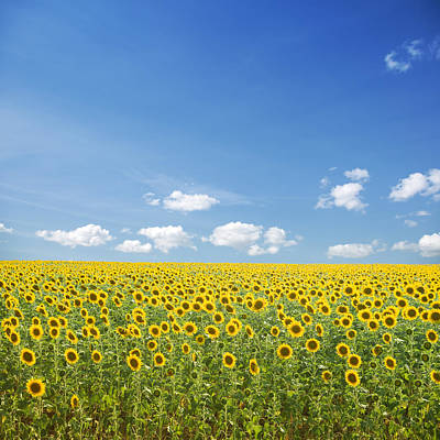 Photograph - Sunflowers And Blue Sky by Kertlis
