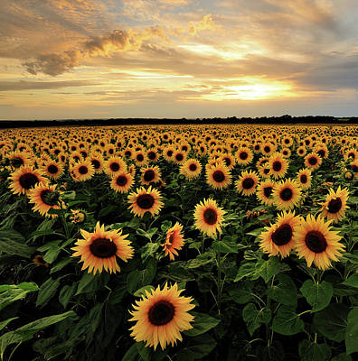 Photograph - Sunflowers by Andreas Jones