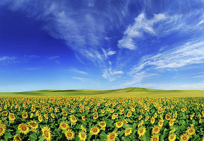 Photograph - Sunflowers Field Xxxl Size by Photo-max