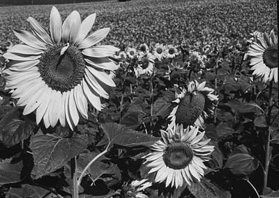 Photograph - Sunflowers Full Bloom In Field.  Photo by Paul Schutzer