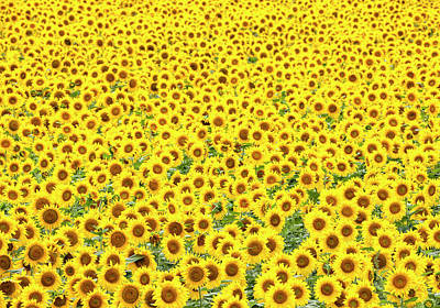 Photograph - Sunflowers Galore by Denise Bush