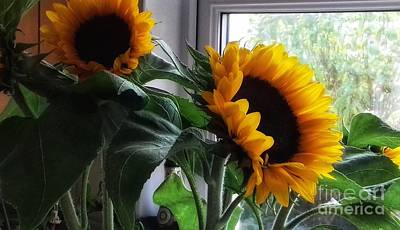 Photograph - Sunflowers In My Garden Window 6 by Joan-Violet Stretch