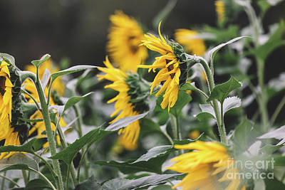 Photograph - Sunflowers in the wind by Marilyn Nieves