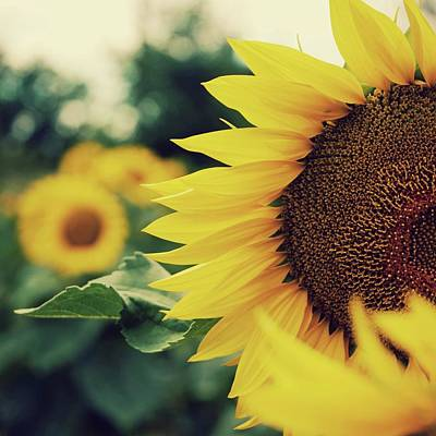 Photograph - Sunflowers by Kirstin Mckee