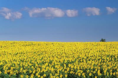 Prairie Landscape Wall Art - Photograph - Sunflowers, Mariapolis, Manitoba by Mike Grandmaison