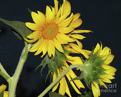 Watercolor Butterflies - Sunflowers On Black by Cindy Treger