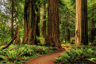 Photograph - Sunlight In The Redwoods by James Eddy