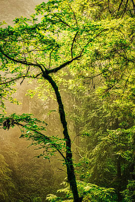 Photograph - Sunlit Foggy Forest by Stuart Litoff