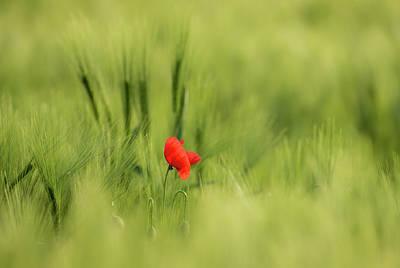 Photograph - Sunlit Red Wild Poppy by Vlad Sokolovsky
