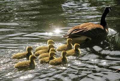 Baby Geese Wall Art - Photograph - Sunlit Stroll by Donna Kennedy