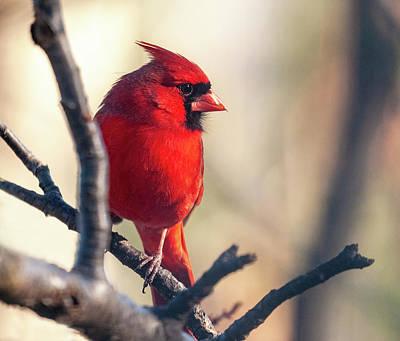 Photograph - Sunny Cardinal by Lara Ellis