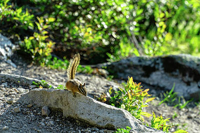 Photograph - Sunny Chipmunk by Dave Matchett
