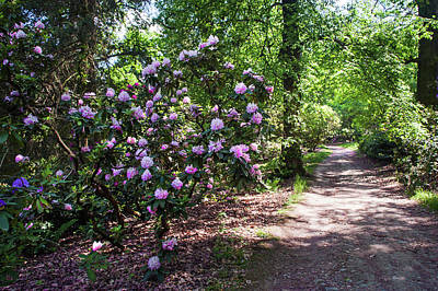 Photograph - Sunny Path Through Rhododendron Woods 1 by Jenny Rainbow