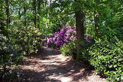 Photograph - Sunny Path Through Rhododendron Woods 3 by Jenny Rainbow